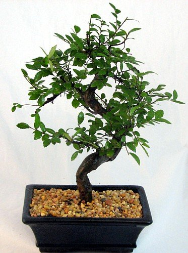 Chinese Elm Bonsai - Zelkova - From China - 6 Years Old