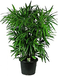 Rhapis Home or Office Plant 10 Seeds Lady Palm indoor/outdoor