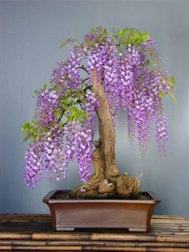 TROPICA - Glicina africana (Bolusanthus speciosus) - 15 semillas- Bonsai