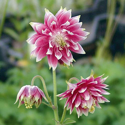 AIMADO Samen-50 Pcs Kurzspornige Akelei 'Nora Barlow' Blumensamen rosa mehrjährig winterhart zweifarbige, gefüllte Blüten Saatgut perfekt für Garten Balkon