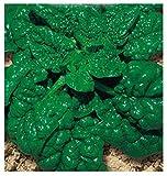 Inception Pro Infinite 400 C.ca Semi Spinacio Riccio Gigante America - Spinacea Oleracea In Confezione Originale Prodotto in Italia - Spinaci giganti