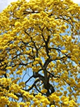 50 Seeds TABEBUIA caraiba Exotic Yellow Trumpet Golden Tree Ornamental Gold Seed