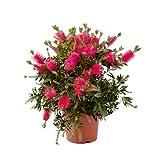 Fleur de Botanicly – Rince Bouteille – Hauteur: 39 cm –...