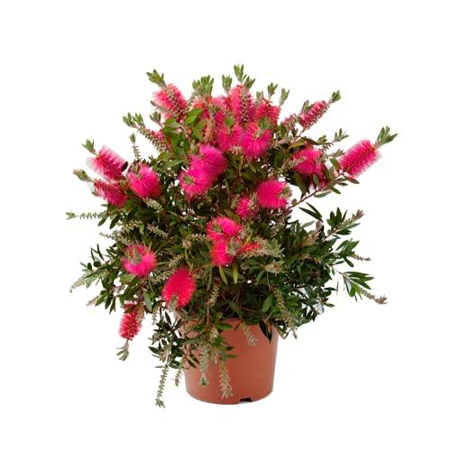 Blume – Zylinderputzer – Höhe: 39 cm