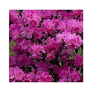 SANHOC Samen-Paket: Rhododendron 'Praecox' Hybrid 15cm PotSEED