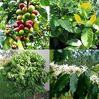 コーヒーアラビカの5種 - コーヒーの木