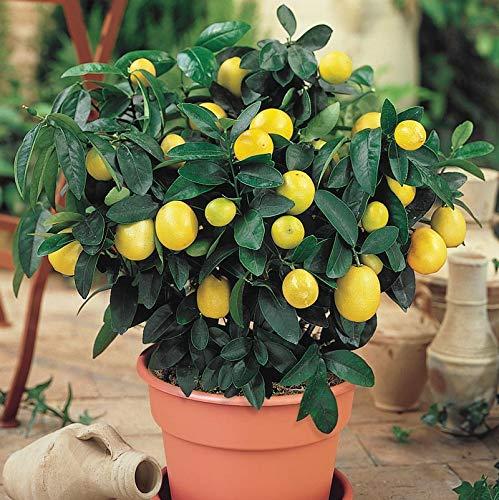 Orgạnic Dwarf Meyer Lemon Trẹẹ SẸẸDS - 10 Séẹds