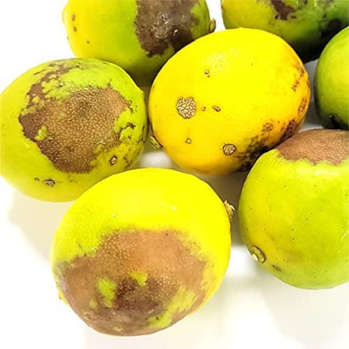 訳あり小笠原の菊池レモン 3kg 国産・無農薬無化学肥料 ノーワックス 防腐剤不使用
