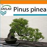 SAFLAX - Garden in the Bag - Pinos piñoneros - 6 semillas - Con sustrato de cultivo en un sacchetto rigido fácil de manejar. - Pinus pinea