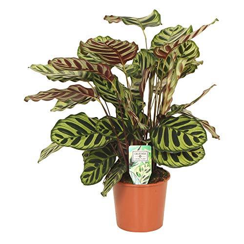 Calathea makoyana | Calathea Korbmarante | Zimmerpflanzen groß | Höhe 80-90 cm | Topf-Ø 17 cm