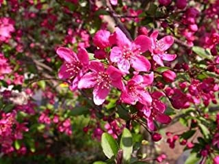Prairie Fire Crab Apple, Malus Prairiefire, Tree 30 Seeds