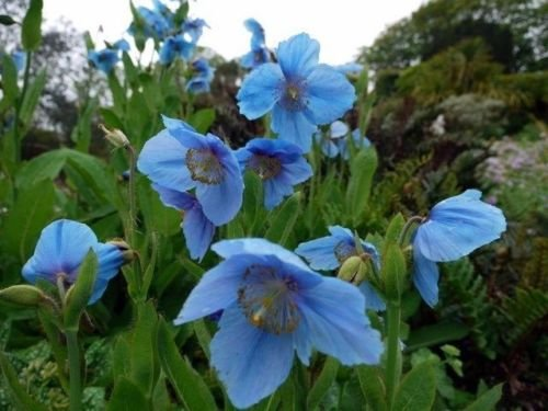 Semillas meconopsis betonicifolia HIMALAYA amapola azul PERENNES!