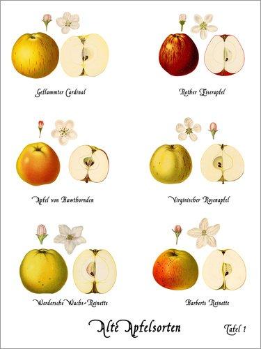Poster 50 x 70 cm: Alte Apfelsorten von Christian Müringer - hochwertiger Kunstdruck, neues Kunstposter