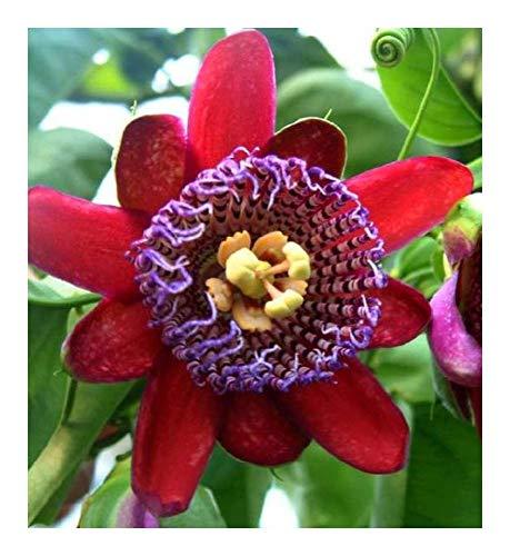 Passiflora quadrangularis - Grenadille géante - 10 graines