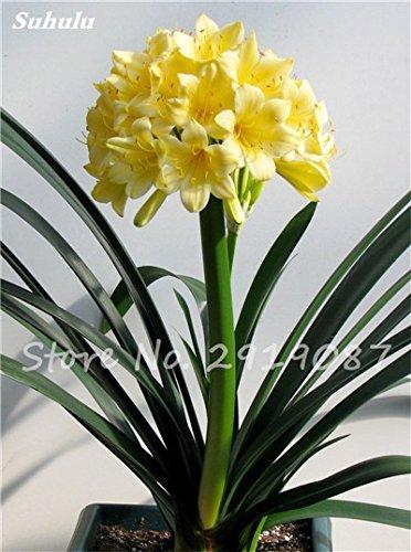 Exotiques Clivia Graines de plantes en pot Diy, intérieur Pot Seed Couleurs multiples Pour Choisir Bonsai usine Maison et Jardin Décoration 100 pièces 13