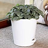Nerve plant (Fittonia spp.) is a spreading evergreen with delicately veined, deep-green leaves. The foliage is low growing and trailing with oval-shaped leaves on rooting mat forming stems. Fittonia, is an eye-catching houseplant that is popular for ...