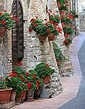 Semillas de geranio rojo - Pelargonium - 10 semillas
