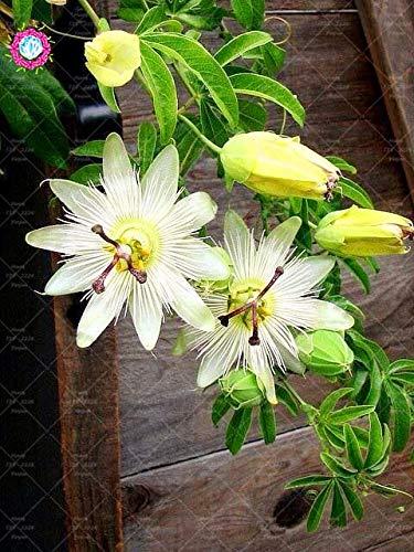 Shopmeeko 10 stücke Bonsai Passiflora blume pflanze Passionsfruchtpflanze Nahrhafte Granadilla Garten Mehrjährige Immergrüne Kletterpflanze: 8