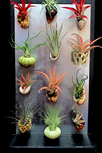 Air plants in shells