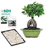 Brussel's Bonsai Live Gensing Grafted Ficus Indoor Bonsai Tree - 4 Years Old 6' to 8' Tall with Decorative Container