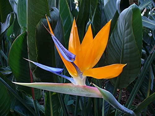 Mandela's Gold Bird of Paradise Live Plant Exotic Tropical Houseplant
