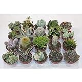 Cactus y crasa 20 unidades (maceta 5,5 cm ø) variado