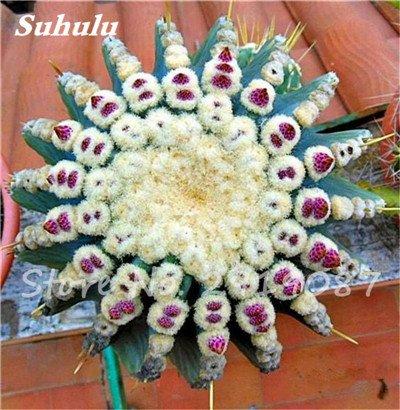 100 Pcs vrai Cactus Seeds, Mini Cactus, Figuier, japonais Succulentes Bonsai Graines de fleurs, Plante en pot pour jardin 3