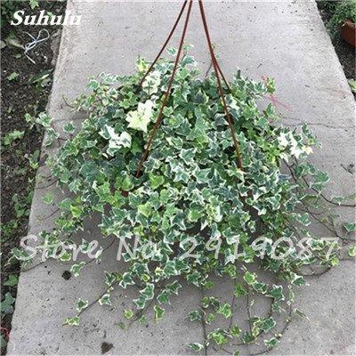 Pearl Chlorophytum Seeds 100 Pcs Hanging type de pot Chlorophytum fleurs Plantes d'intérieur air frais jardin résistant au froid 18
