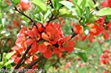 Chaenomeles Japonica 10 Semillas, resistente al frío Bonsai Roja Japonesa Quince arbusto