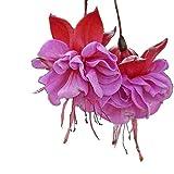 bigfamily semi di fiori semi fucsia raro colore misto 10 pz/borsa facile da coltivare