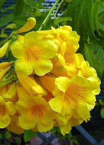 TROPICA - Bignonia gialla (Tecoma stans) - 30 Semi- Mediterraneo
