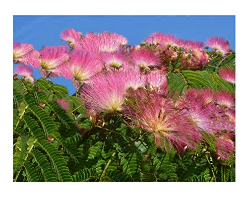 Silk Tree 15 Seeds Albizia julibrissin Mimosa Fast growing Profusion of Pink Puff Flowers Bonsai Zones 6-9 Container or Standard