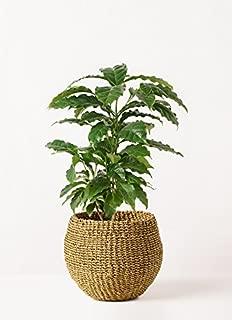 HitoHana(ひとはな) コーヒーの木4号 アバカバスケットオリーブ