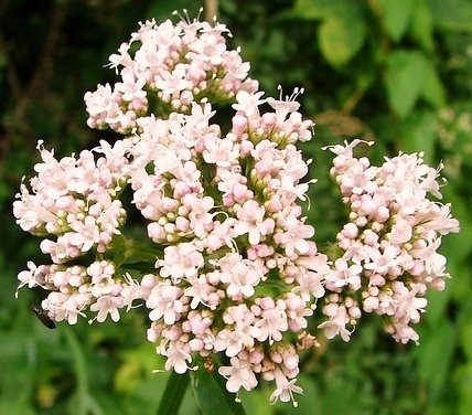 Semi di Valeriana - Valeriana officinalis