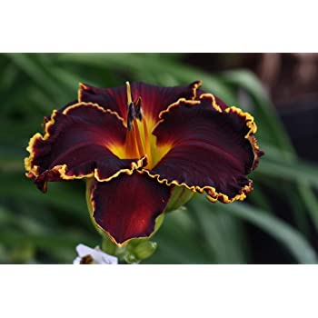Perennial Daylily Roots Resistant Blooms Reblooming Garden Decor Flowers Fresh