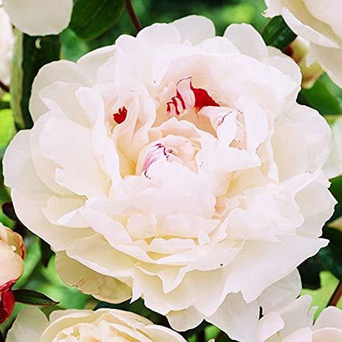 Pfingstrose Gartenpflanzen winterhart Blumenzwiebeln sommer Pfingstrose knolle 1x Rhizom Chinesische pfingstrose Festiva Maxima