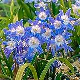 BRECK'S Early Snow Glories Chionodoxa Spring Flowering Bulbs - Each Offer Includes 18 Bulbs