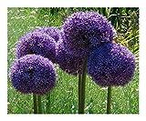 Allium giganteum - Ail d ornement géant - 15 graines