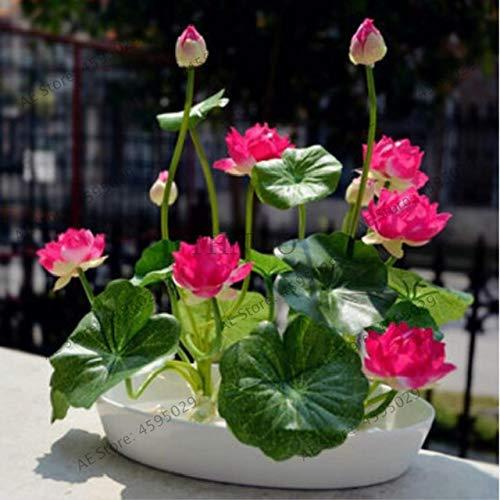 Heiße 5 PC/Bag Bonsai Wasser-Hyazinthe Blumen Pflanzen Neue Live-Wasser-Hyazinthe Schwimmteich Aquarium Fissidens fontanus: 1