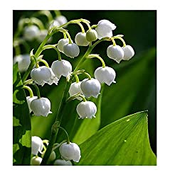 lily of the valley roots on Amazon.