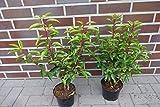 30st. Portugiesischer Kirschlorbeer 40-50cm im Topf Kirschlorbeer Prunus lusitanica 'Angustifolia' Lorbeer Gartenhecke Sichtschutz