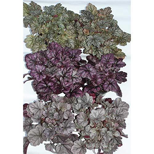 Heuchera Mix Set silber-grau, Purpurglöckchen, 6 Töpfe a 12 cm - winterhart, in Gärtnerqualität von Blumen Eber - 6 Töpfe a 12 cm