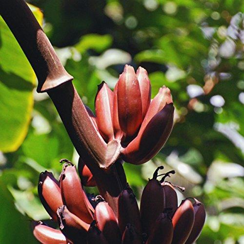 Musa manii, dwarf banana, rare and nice, 5 graines