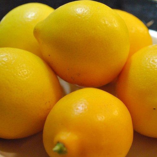 レモン 苗木 【マイヤーレモン】 3年生 接ぎ木 プラスチック鉢植え