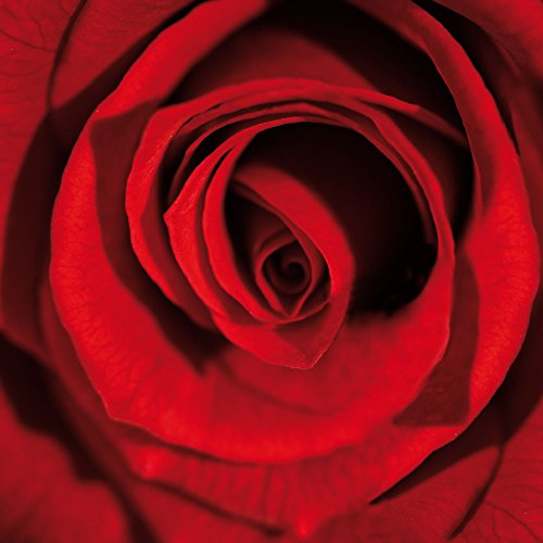 Rose – Full Bloom – Plexi Art vetro acrilico Block immagine – Dimensione 33 x 33 cm
