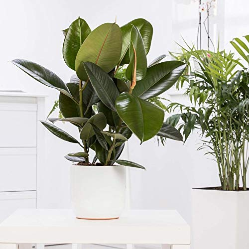 Pflanzen Kölle Gummibaum, Ficus elastica 'Robusta' Höhe 90 cm, Topf 27 cm