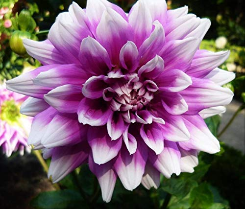2Pcs Purple Dinnerplate Dahlia Tubers - Root - Bulb - Plant - Spring Planting & Summer Flowers - Blooming Size
