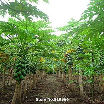 VISTARIC graines de fruits Real papayes papaïne bonsaï maison arbre jardin extérieur coing fleuri chinois cour pantalons sementes
