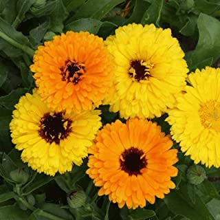 Flower Seeds - 500 Seeds of Fiesta Gitana Mixed Calendula Wildflower Seeds