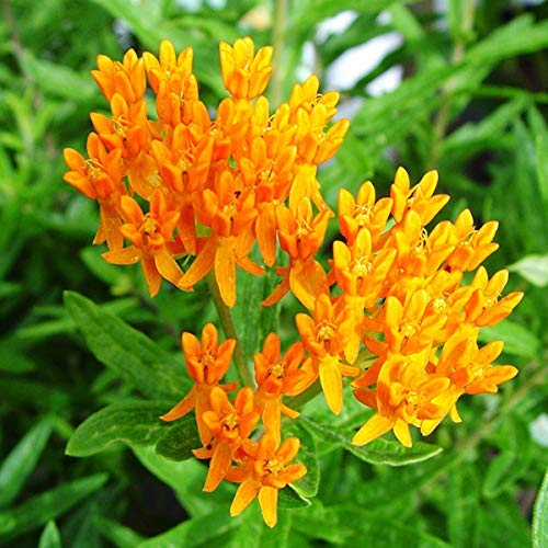 American Beauties Native Plants - Asclepias tuberosa (Butterfly Milkweed) Perennial, orange flowers, 1 - Size Container